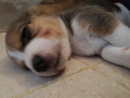vendo cachooros beagles