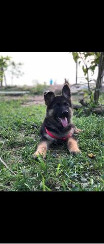 vendo cachorra pastor alemán