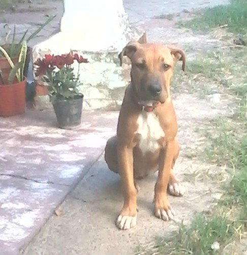 vendo cachorra pitbull