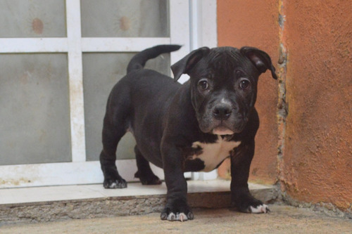 vendo cachorras american bully pocket (betline, lilsinner)