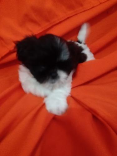 vendo cachorrinha lhasa apso