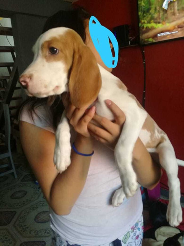 vendo cachorro beagles bicolor 3 meses y medio