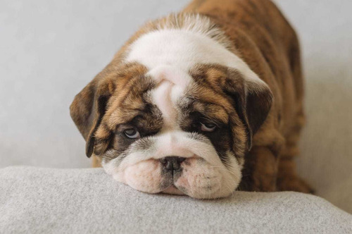 vendo cachorro bulldog ingles macho