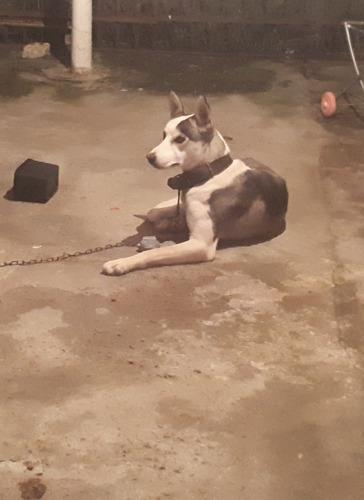 vendo cachorro da raça husck siberiano