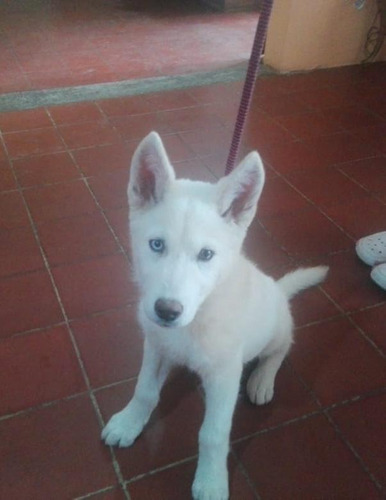 vendo cachorro husky blanco ojo azul muy bonito