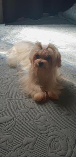vendo cachorro maltês puro