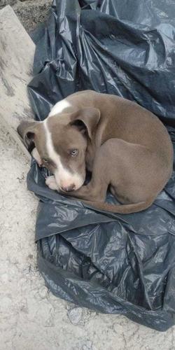vendo cachorro pitbull blue