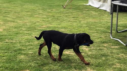 vendo cachorro rotweiler 10 meses de edad