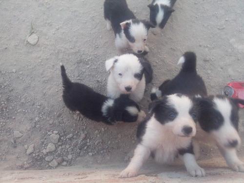vendo cachorros bordie collie