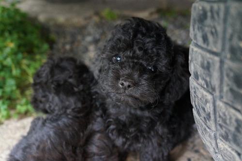 vendo cachorros poodles micro-toy negros adorables!