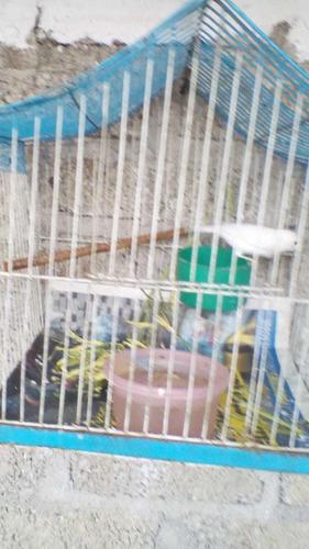 vendo canaria color blanco
