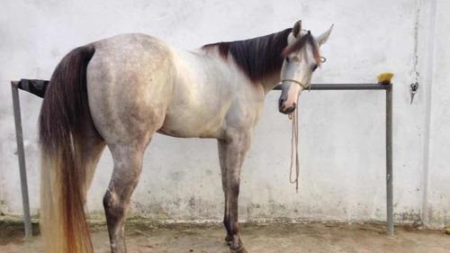 vendo cavalo, linda égua quarto de milha