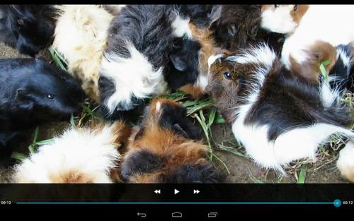 vendo criadero de cobayos peruano sheltie alpaca,