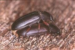 vendo escarabajos costeros
