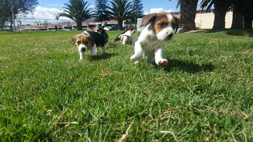 vendo excelente ejemplar beagle