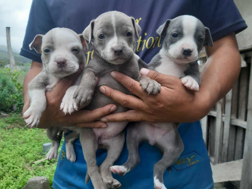 vendo excelentes ejemplares pitbull blue nose y red
