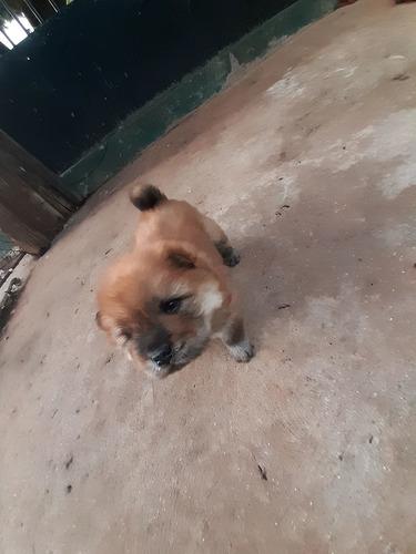 vendo filhote de chow chow zap 43998092606  400  reais