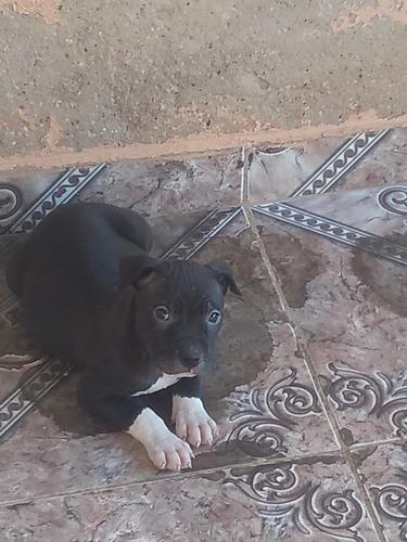 vendo filhote de pitbull fêmea dois meses vacinado