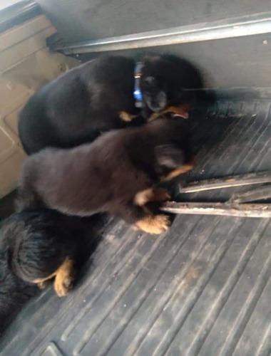 vendo filhote de rottweiler  com 30dias de nascido  valor 1,