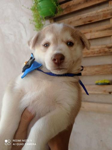 vendo filhotes de husky siberiano