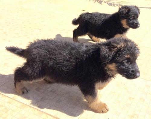 vendo filhotes de pastor alemão ótima  linhagem
