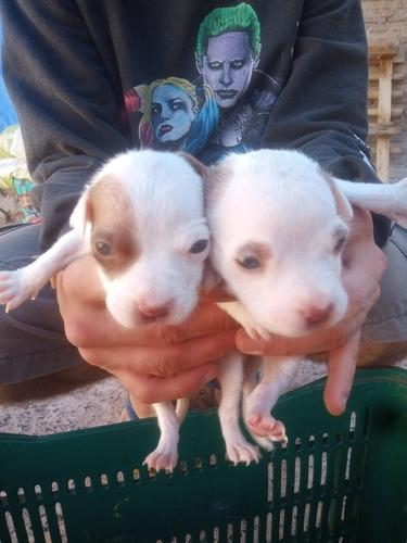 vendo filhotes de pitbull. um macho e uma fêmea