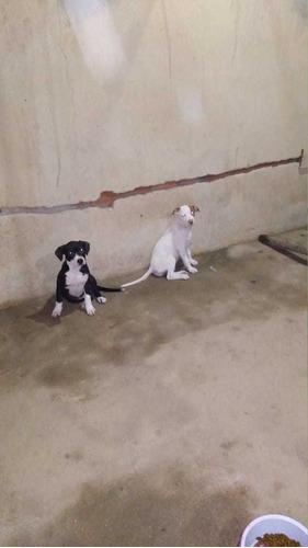 vendo filhotes de pitbull.  vacinados e fermifugados. fêmeas