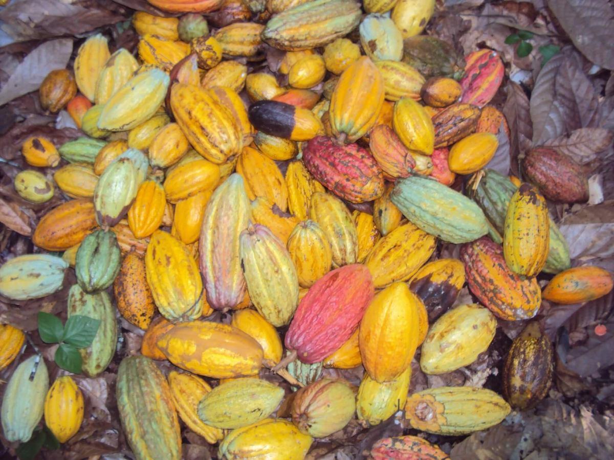 vendo finca de cacao excelente oportunidad de inversion