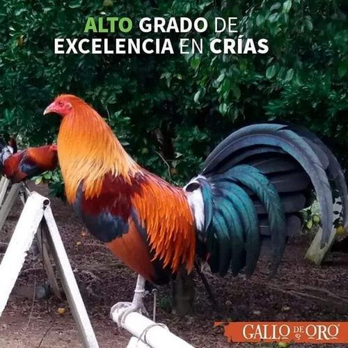 vendo gallo