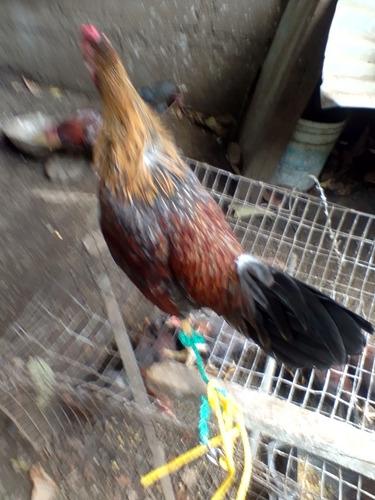 vendo gallos de pelea
