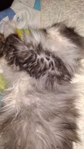 vendo gato persa himalaya