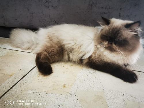 vendo gato persa himalayo cachorro