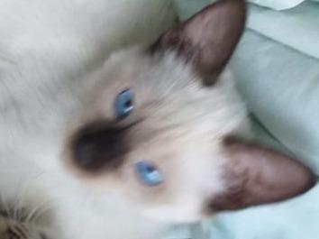 vendo gato siamés