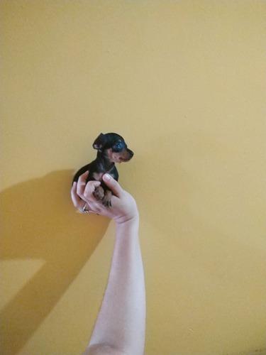 vendo hermosa cachorrita doberman pincher miniatura