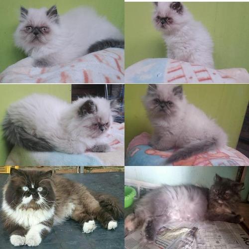 vendo hermosa gatita persa semi extrema padres presentes