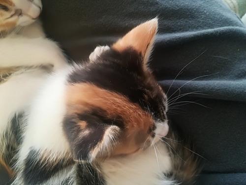 vendo hermoso gato '' yin-yang ''