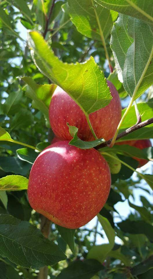 vendo huerta de manzanas