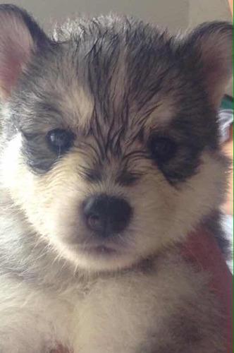 vendo husky siberiano un mes de nacidos