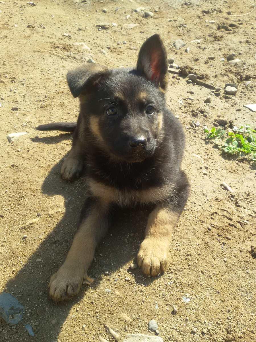 Vendo lindos cachorros pastores alemanes en for Pastores alemanes en coruna