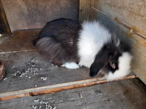 vendo mini coelho adulto lop nacional
