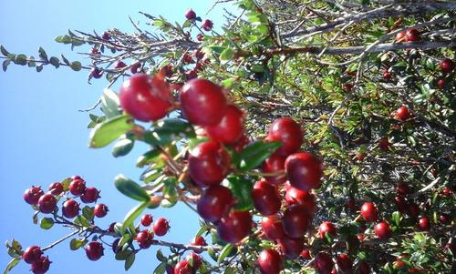vendo murta, totalmente nativa. alto en antioxidantes.