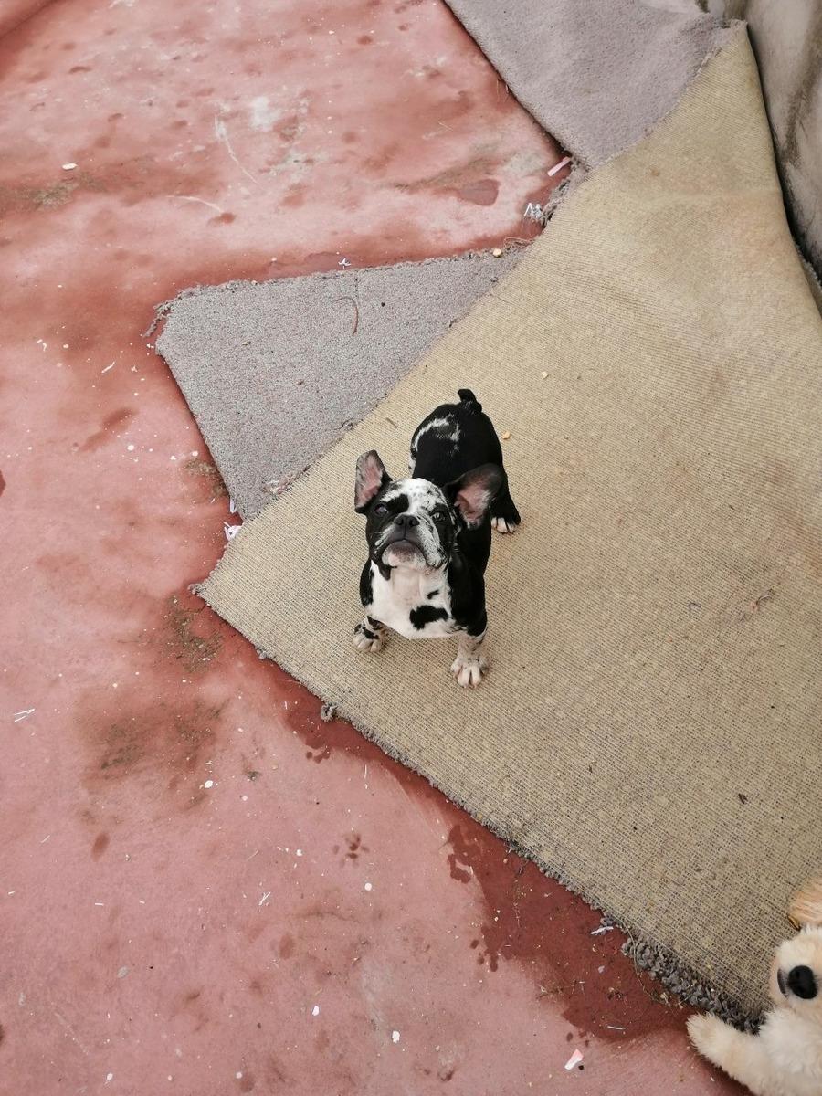 vendo o cambio cachorro bulldog frances