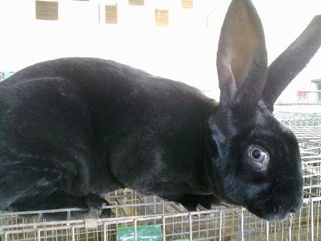 Vendo O Cambio Conejo Color Negro Macho Urge!!! - $ 1,199