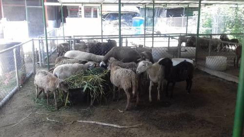 vendo ovejos