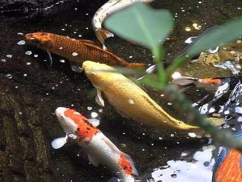 Vendo Peces Koi Para Estanques Fabulosos Colores 3000 En - Estanques-peces