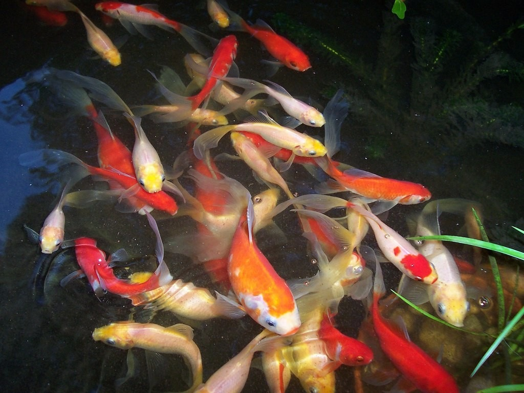 vendo peces koi para estanques fabulosos colores 3