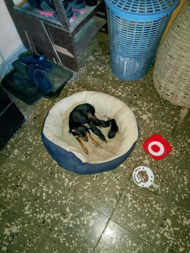 vendo perros mini pincher 350.000 barranquilla