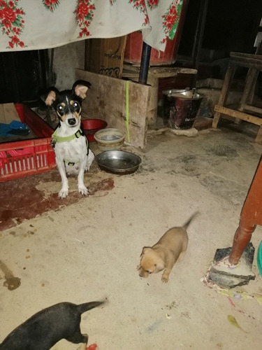 vendo perros pincher macho y hembra ya comen solo