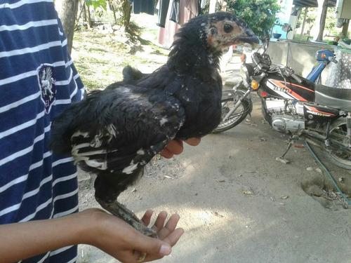 vendo pollitos raza criollo gigante 2 meses