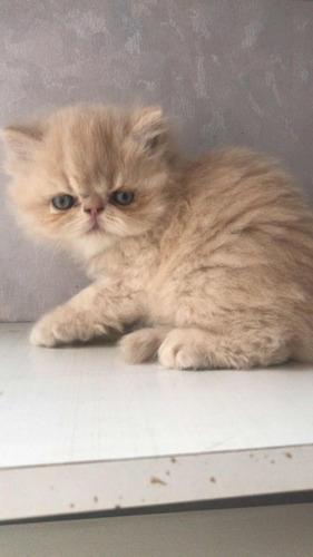 vendo preciosos gatitos persa